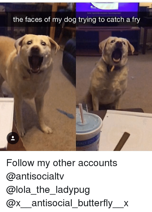 lolas: the faces of my dog trying to catch a fry Follow my other accounts @antisocialtv @lola_the_ladypug @x__antisocial_butterfly__x