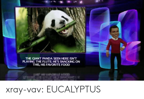 giant panda: THE GIANT PANDA SEEN HERE ISN'T  PLAYING THE FLUTE: HE'S SNACKING ON  THIS, HIS FAVORITE FOOD  OCD xray-vav: EUCALYPTUS