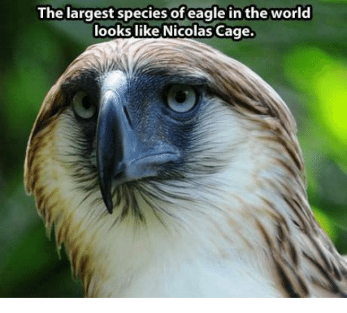 Nicolas Caged: The largest species of eagle in the world  looks like Nicolas Cage.