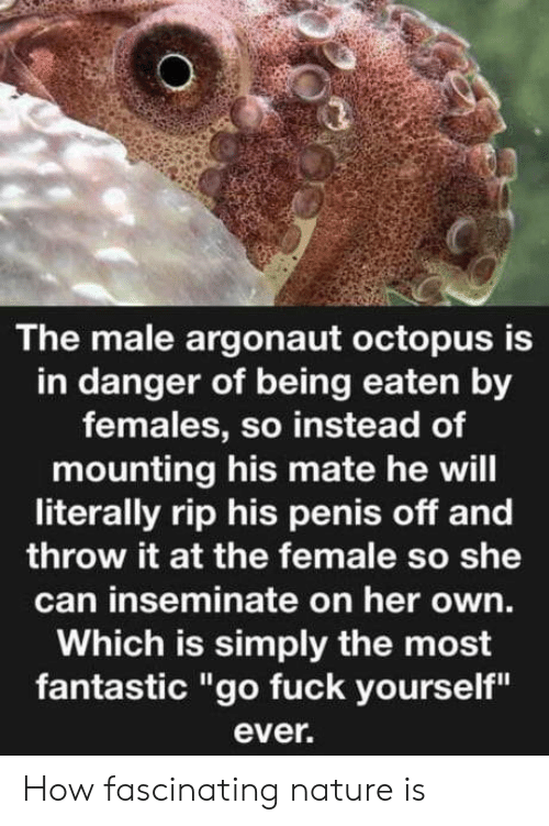 """Fuck, Nature, and Octopus: The male argonaut octopus is  in danger of being eaten by  females, so instead of  mounting his mate he will  literally rip his penis off and  throw it at the female so she  can inseminate on her own.  Which is simply the most  fantastic """"go fuck yourself""""  ever. How fascinating nature is"""