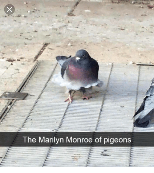 Marilyn Monroe, Monroe, and Marilyn: The Marilyn Monroe of pigeons