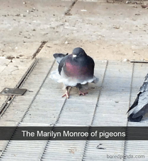 Marilyn Monroe, Com, and Monroe: The Marilyn Monroe of pigeons  boredpanda.com