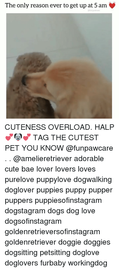 Halp: The only reason ever to get up at 5 am  @funpawcare CUTENESS OVERLOAD. HALP 💕🐶💕 TAG THE CUTEST PET YOU KNOW @funpawcare . . @amelieretriever adorable cute bae lover lovers loves purelove puppylove dogwalking doglover puppies puppy pupper puppers puppiesofinstagram dogstagram dogs dog love dogsofinstagram goldenretrieversofinstagram goldenretriever doggie doggies dogsitting petsitting doglove doglovers furbaby workingdog