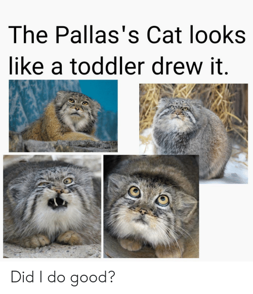 Good, Lisa, and Cat: The Pallas's Cat looks  like a toddler drew it.  LIsa Hubbard Did I do good?
