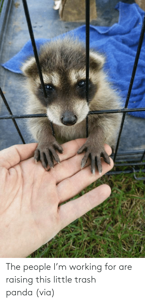 Panda: The people I'm working for are raising this little trash panda (via)