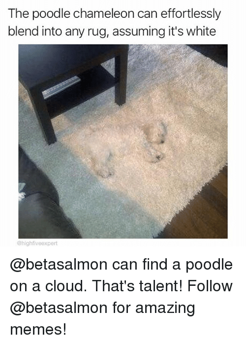 poodle: The poodle chameleon can effortlessly  blend into any rug, assuming it's white  @highfiveexpert @betasalmon can find a poodle on a cloud. That's talent! Follow @betasalmon for amazing memes!