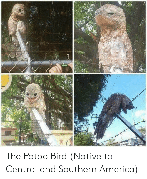 Southern: The Potoo Bird (Native to Central and Southern America)