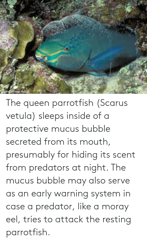 Resting: The queen parrotfish (Scarus vetula) sleeps inside of a protective mucus bubble secreted from its mouth, presumably for hiding its scent from predators at night. The mucus bubble may also serve as an early warning system in case a predator, like a moray eel, tries to attack the resting parrotfish.