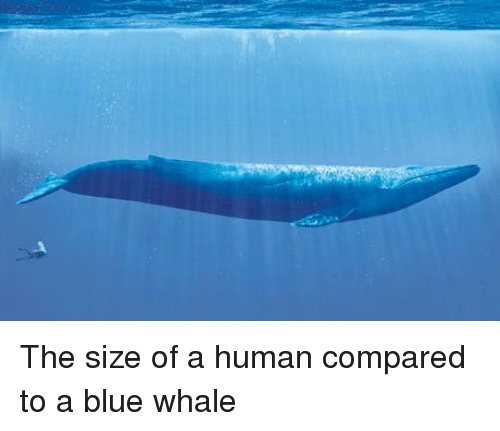 blue whale: The size of a human compared to a blue whale