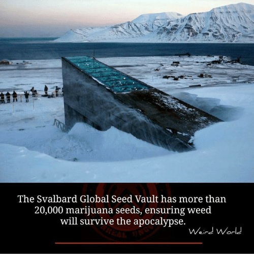 svalbard: The Svalbard Global Seed Vault has more than  20,000 marijuana seeds, ensuring weed  will survive the apocalypse.  Weird World