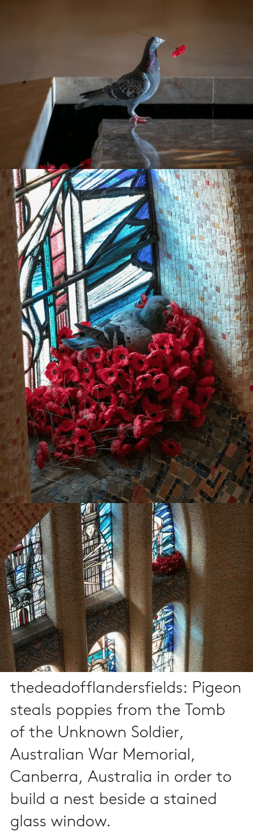 Memorial: thedeadofflandersfields:  Pigeon steals poppies from the Tomb of the Unknown Soldier, Australian War Memorial, Canberra, Australia in order to build a nest beside a stained glass window.