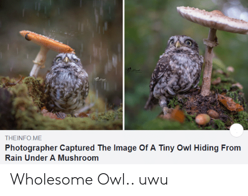 photographer: THEINFO ME  Photographer Captured The Image Of A Tiny Owl Hiding From  Rain Under A Mushroom Wholesome Owl.. uwu