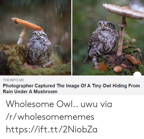 photographer: THEINFO ME  Photographer Captured The Image Of A Tiny Owl Hiding From  Rain Under A Mushroom Wholesome Owl.. uwu via /r/wholesomememes https://ift.tt/2NiobZa