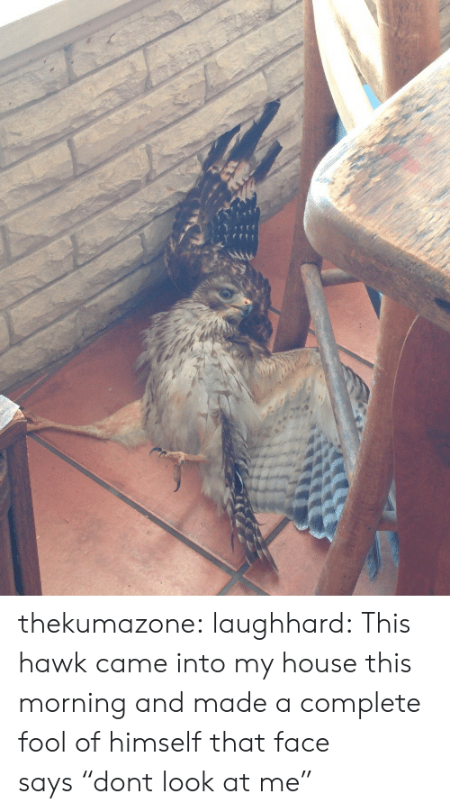 """My House, Tumblr, and Blog: thekumazone:  laughhard:  This hawk came into my house this morning and made a complete fool of himself  that face says""""dont look at me"""""""