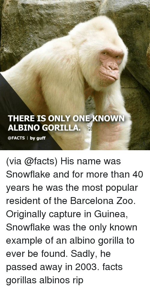 guff: THERE IS ONLY ONE KNOWN  ALBINO GORILLA  @FACTS 1 by guff (via @facts) His name was Snowflake and for more than 40 years he was the most popular resident of the Barcelona Zoo. Originally capture in Guinea, Snowflake was the only known example of an albino gorilla to ever be found. Sadly, he passed away in 2003. facts gorillas albinos rip