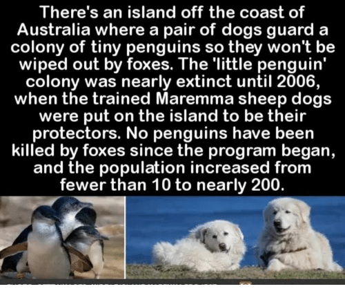 the island: There's an island off the coast of  Australia where a pair of dogs guard a  colony of tiny penguins so they won't be  wiped out by foxes. The 'little penguin'  colony was nearly extinct until 2006,  when the trained Maremma sheep dogs  were put on the island to be their  protectors. No penguins have been  killed by foxes since the program began,  and the population increased from  fewer than 10 to nearly 200.