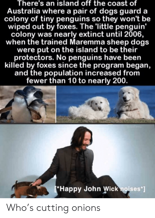the island: There's an island off the coast of  Australia where a pair of dogs guard a  colony of tiny penguins so they won't be  wiped out by foxes. The 'little penguin'  colony was nearly extinct until 2006,  when the trained Maremma sheep dogs  were put on the island to be their  protectors. No penguins have been  killed by foxes since the program began,  and the population increased from  fewer than 10 to nearly 200.  Happy John Wick noises'] Who's cutting onions