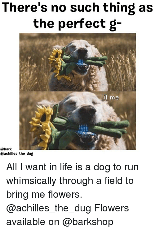 Life, Memes, and Run: There's no such thing as  the perfect g-  t me  @bark  @achilles_the_dug All I want in life is a dog to run whimsically through a field to bring me flowers. @achilles_the_dug Flowers available on @barkshop