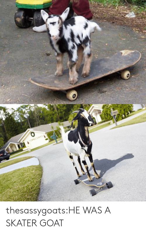Target, Tumblr, and Goat: thesassygoats:HE WAS A SKATER GOAT