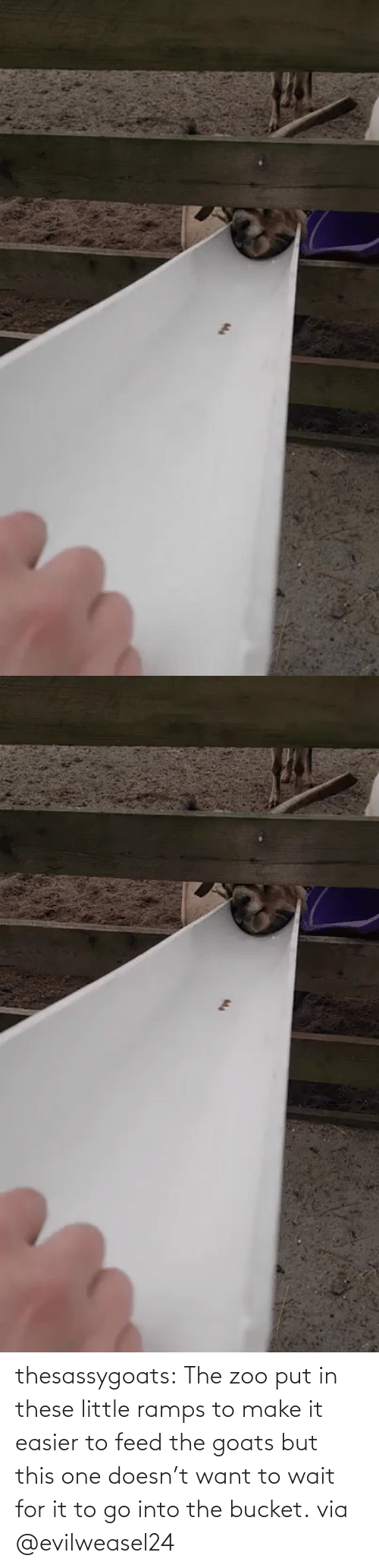 want: thesassygoats: The zoo put in these little ramps to make it easier to feed the goats but this one doesn't want to wait for it to go into the bucket. via @evilweasel24