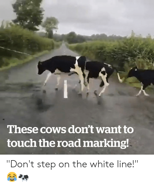 "White, The Road, and Step: These cows don't want to  touch the road marking! ""Don't step on the white line!"" 😂🐄"