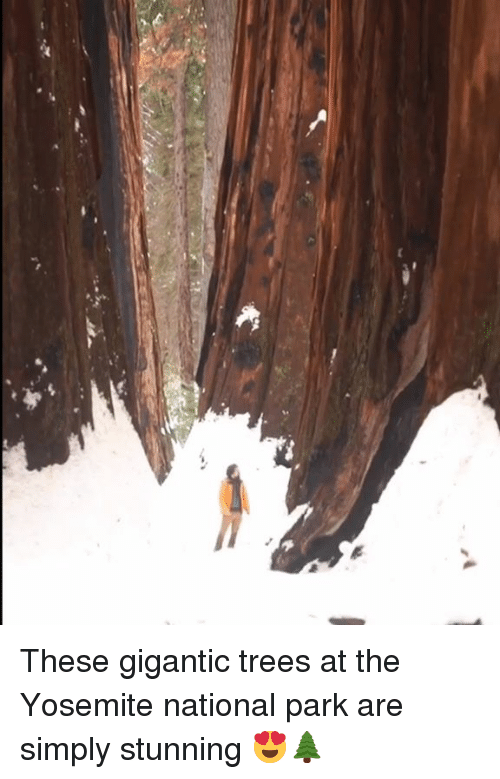 gigantic: These gigantic trees at the Yosemite national park are simply stunning 😍🌲