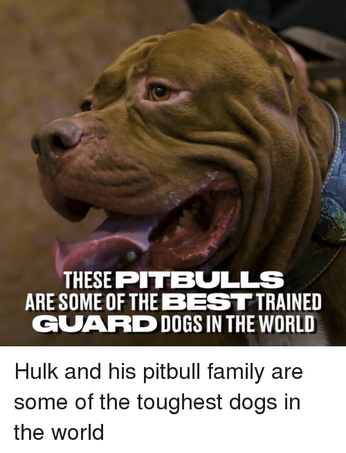 Dank, Dogs, and Family: THESE PITBULLS  ARE SOME OF THE BEST TRAINED  GUARD DOGS IN THE WORLD Hulk and his pitbull family are some of the toughest dogs in the world