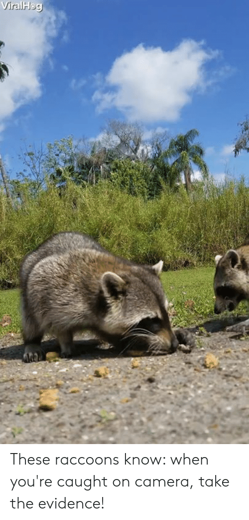 caught on camera: These raccoons know: when you're caught on camera, take the evidence!