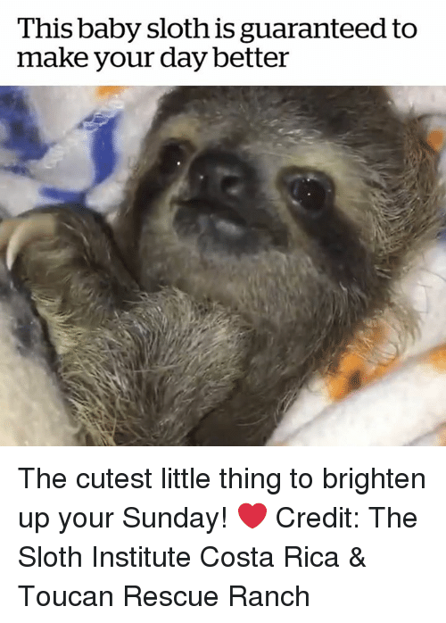 Costa Rica: This baby sloth is guaranteed to  make your day better The cutest little thing to brighten up your Sunday! ❤️  Credit: The Sloth Institute Costa Rica & Toucan Rescue Ranch