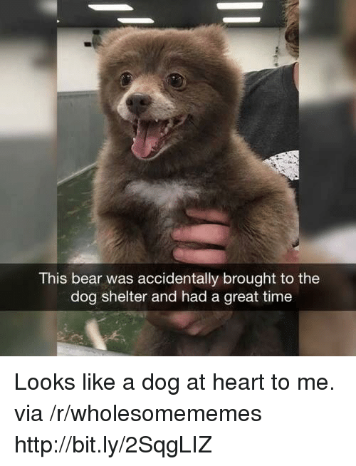 Bear, Heart, and Http: This bear was accidentally brought to the  dog shelter and had a great time Looks like a dog at heart to me. via /r/wholesomememes http://bit.ly/2SqgLIZ
