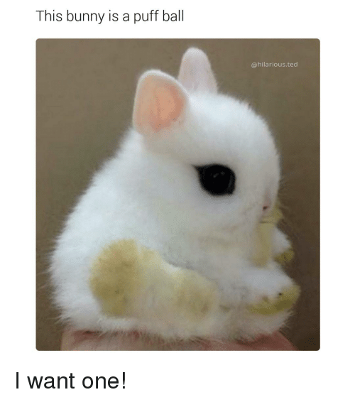 Bunni: This bunny is a puff ball  @hilarious ted I want one!