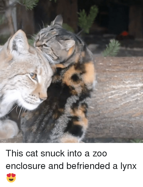 Zoo, Cat, and Lynx: This cat snuck into a zoo enclosure and befriended a lynx 😍