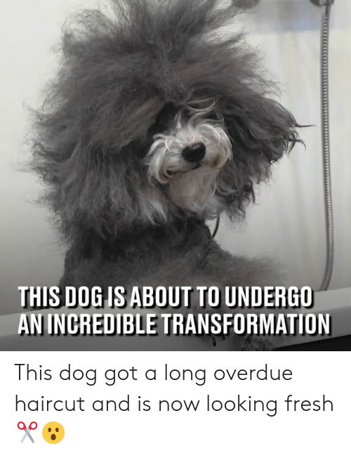 Dank, Fresh, and Haircut: THIS DOG IS ABOUT TO UNDERGO  AN INCREDIBLE TRANSFORMATION This dog got a long overdue haircut and is now looking fresh ✂️😮