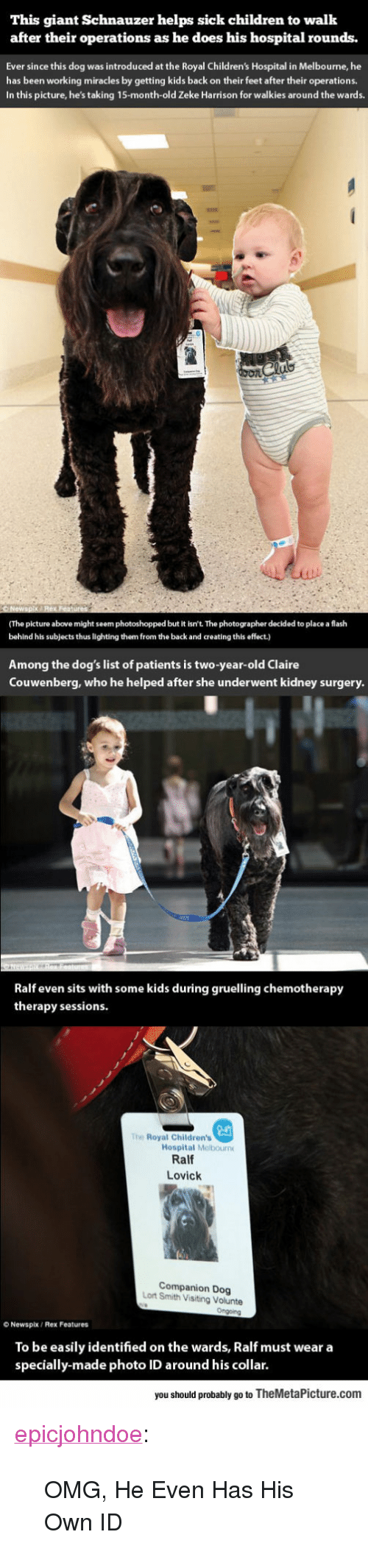 "Children's Hospital: This giant Schnauzer helps sick children to walk  after their operations as he does his hospital rounds.  Ever since this dog was introduced at the Royal Children's Hospital in Melbourne, he  has been working miracles by getting kids back on their feet after their operations.  In this picture, he's taking 15-month-old Zeke Harrison for walkies around the wards.  (The picture above might seem photoshopped but it isn't. The photographer decided to place a flash  behind his subjects thus lighting them from the back and creating this effect.)  Among the dog's list of patients is two-year-old Claire  Couwenberg, who he helped after she underwent kidney surgery  Ralf even sits with some kids during gruelling chemotherapy  therapy sessions  The Royal Children's  Hospital Melbourn  Ralf  Lovick  Companion Dog  Lort Smith Visiting Volunte  O Newspix/ Rex Features  To be easily identified on the wards, Ralf must wear a  specially-made photo ID around his collar.  you should probably go to TheMetaPicture.com <p><a href=""https://epicjohndoe.tumblr.com/post/170360145056/omg-he-even-has-his-own-id"" class=""tumblr_blog"">epicjohndoe</a>:</p>  <blockquote><p>OMG, He Even Has His Own ID</p></blockquote>"