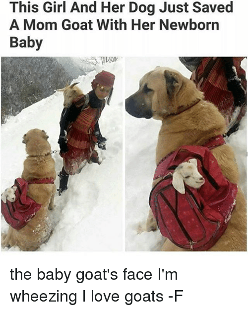 wheeze: This Girl And Her Dog Just Saved  A Mom Goat With Her Newborn  Baby the baby goat's face I'm wheezing I love goats -F