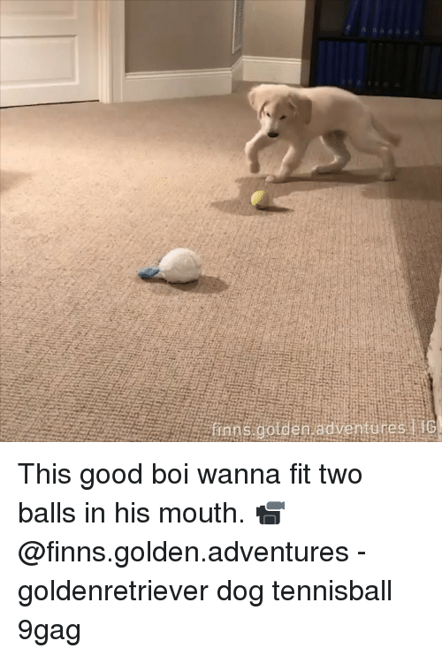 9gag, Memes, and Good: This good boi wanna fit two balls in his mouth. 📹 @finns.golden.adventures - goldenretriever dog tennisball 9gag
