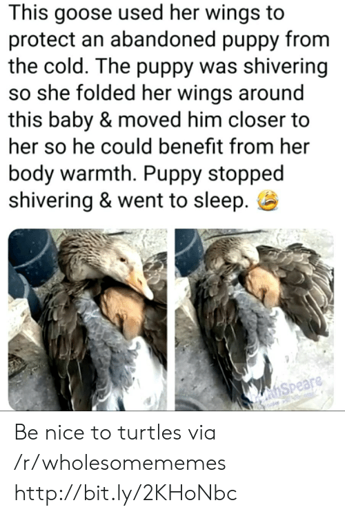 Http, Puppy, and Wings: This goose used her wings  protect an abandoned puppy from  the cold. The puppy was shivering  so she folded her wings around  this baby & moved him closer to  her so he could benefit from her  body warmth. Puppy stopped  shivering & went to sleep  hSpeare Be nice to turtles via /r/wholesomememes http://bit.ly/2KHoNbc