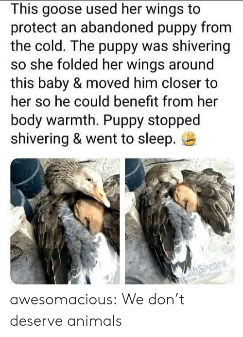 Animals, Tumblr, and Blog: This goose used her wings to  protect an abandoned puppy from  the cold. The puppy was shivering  so she folded her wings around  this baby & moved him closer to  her so he could benefit from her  body warmth. Puppy stopped  shivering & went to sleep.  hSpeare awesomacious:  We don't deserve animals
