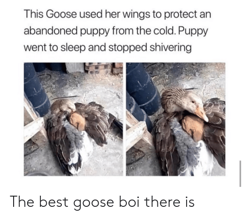 Best, Puppy, and Wings: This Goose used her wings to protect an  abandoned puppy from the cold. Puppy  went to sleep and stopped shivering The best goose boi there is