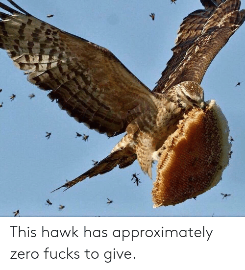Zero, This, and Zero Fucks: This hawk has approximately zero fucks to give.