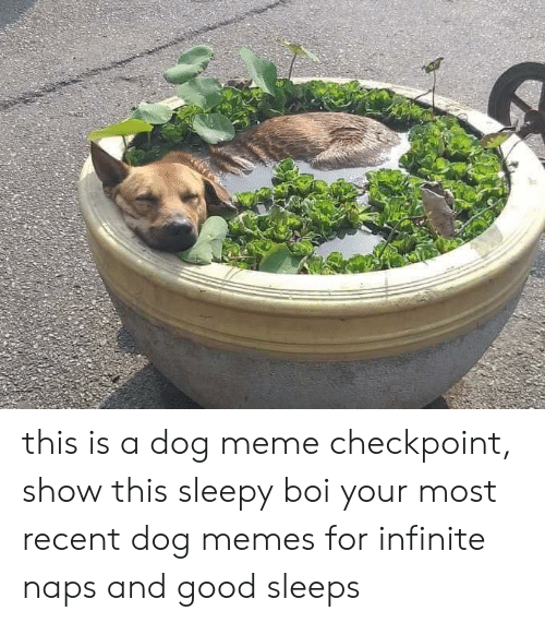Naps: this is a dog meme checkpoint, show this sleepy boi your most recent dog memes for infinite naps and good sleeps