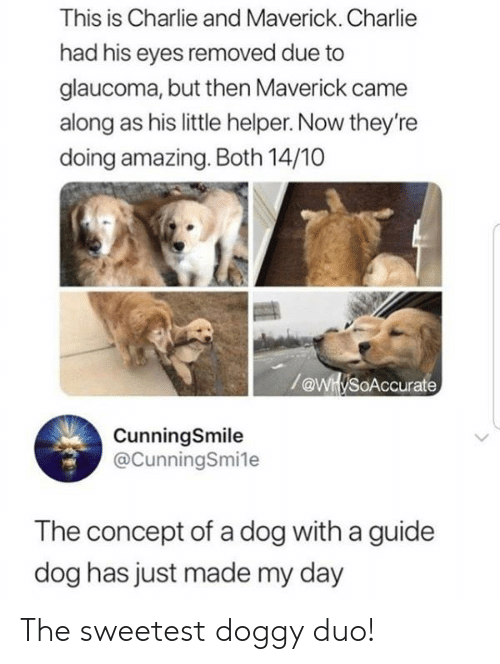 maverick: This is Charlie and Maverick. Charlie  had his eyes removed due to  glaucoma, but then Maverick came  along as his little helper. Now they're  doing amazing. Both 14/10  /@WH/soAccurate  CunningSmile  @CunningSmile  The concept of a dog with a guide  dog has just made my day The sweetest doggy duo!