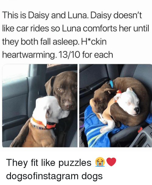 luna: This is Daisy and Luna. Daisy doesn't  like car rides so Luna comforts her until  they both fall asleep. H*ckin  heartwarming. 13/10 for each They fit like puzzles 😭❤️ dogsofinstagram dogs