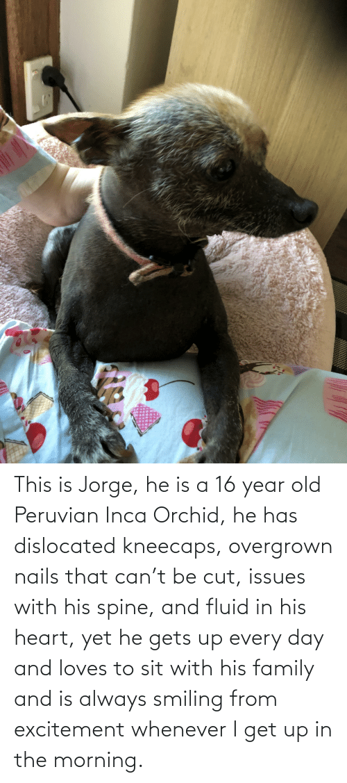 excitement: This is Jorge, he is a 16 year old Peruvian Inca Orchid, he has dislocated kneecaps, overgrown nails that can't be cut, issues with his spine, and fluid in his heart, yet he gets up every day and loves to sit with his family and is always smiling from excitement whenever I get up in the morning.
