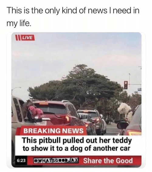 Pulled Out: This is the only kind of news I need in  my life  LIVE  BREAKING NEWS  This pitbull pulled out her teddy  to show it to a dog of another car  WHATSGOODLIA, Share the Good  6:23