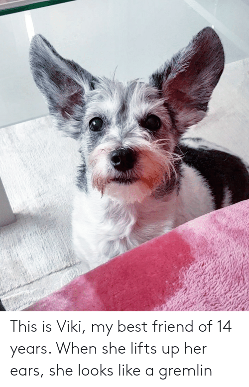 Lifts: This is Viki, my best friend of 14 years. When she lifts up her ears, she looks like a gremlin
