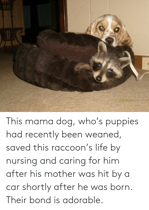 Nursing: This mama dog, who's puppies had recently been weaned, saved this raccoon's life by nursing and caring for him after his mother was hit by a car shortly after he was born. Their bond is adorable.