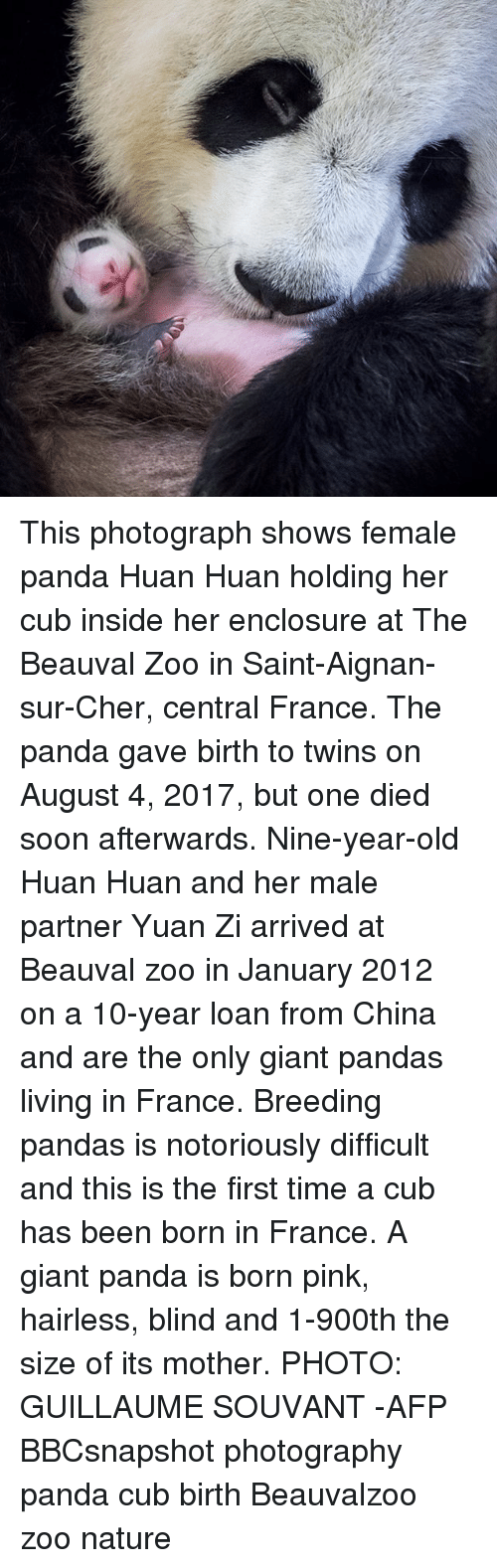 Blindes: This photograph shows female panda Huan Huan holding her cub inside her enclosure at The Beauval Zoo in Saint-Aignan-sur-Cher, central France. The panda gave birth to twins on August 4, 2017, but one died soon afterwards. Nine-year-old Huan Huan and her male partner Yuan Zi arrived at Beauval zoo in January 2012 on a 10-year loan from China and are the only giant pandas living in France. Breeding pandas is notoriously difficult and this is the first time a cub has been born in France. A giant panda is born pink, hairless, blind and 1-900th the size of its mother. PHOTO: GUILLAUME SOUVANT -AFP BBCsnapshot photography panda cub birth Beauvalzoo zoo nature
