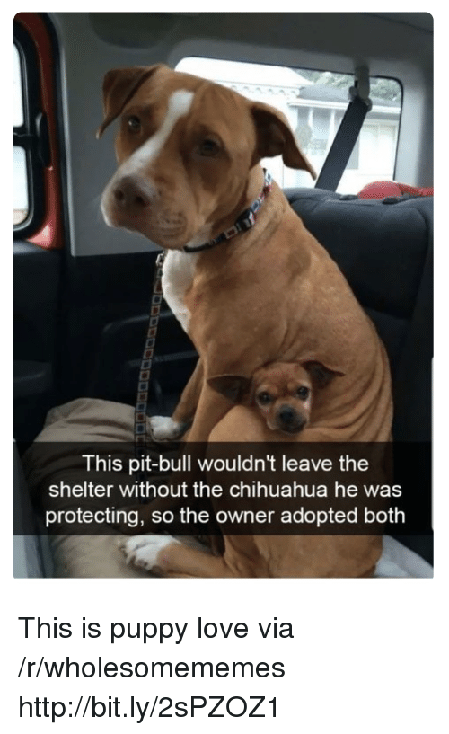 pit bull: This pit-bull wouldn't leave the  shelter without the chihuahua he was  protecting, so the owner adopted both This is puppy love via /r/wholesomememes http://bit.ly/2sPZOZ1