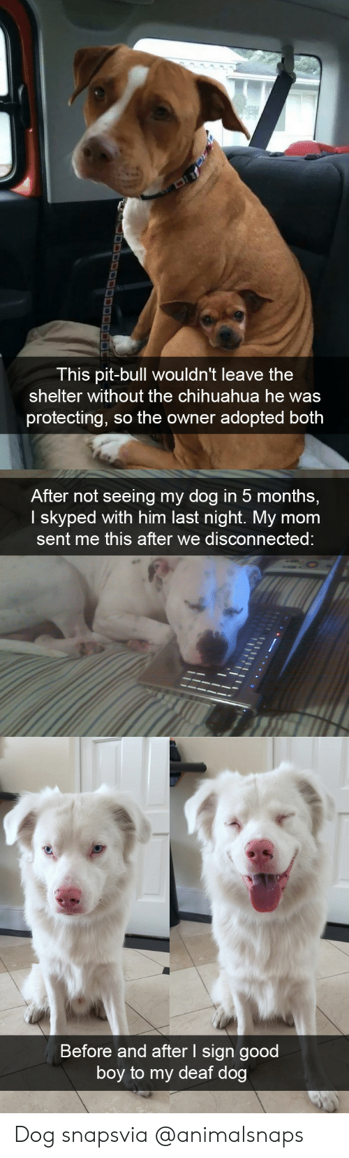 Chihuahua, Target, and Tumblr: This pit-bull wouldn't leave the  shelter without the chihuahua he was  protecting, so the owner adopted both   After not seeing my dog in 5 months,  I skyped with him last night. My mom  sent me this after we disconnected   Before and after I sign good  boy to my deaf dog Dog snapsvia @animalsnaps